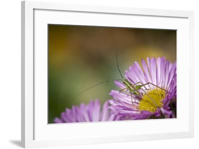 Fork-Tailed Bush Katydid Nymph on Aster, Los Angeles, California-Rob Sheppard-Framed Photographic Print
