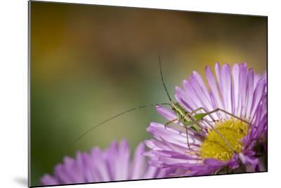 Fork-Tailed Bush Katydid Nymph on Aster, Los Angeles, California-Rob Sheppard-Mounted Photographic Print