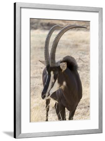 Namibia, Windhoek, Okapuka Ranch. Close-up of Sable Antelope-Wendy Kaveney-Framed Photographic Print