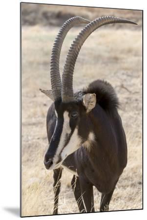 Namibia, Windhoek, Okapuka Ranch. Close-up of Sable Antelope-Wendy Kaveney-Mounted Photographic Print