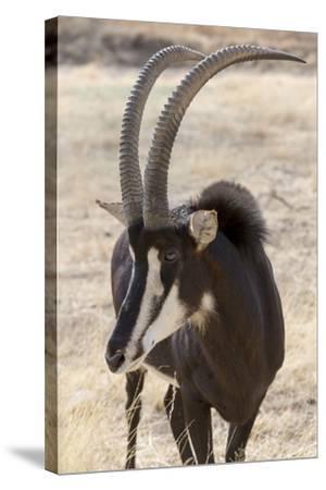 Namibia, Windhoek, Okapuka Ranch. Close-up of Sable Antelope-Wendy Kaveney-Stretched Canvas Print