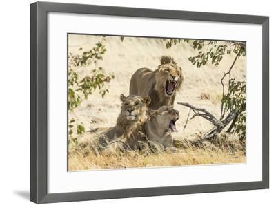 Namibia, Damaraland, Palwag Concession. Three Lions Resting-Wendy Kaveney-Framed Photographic Print