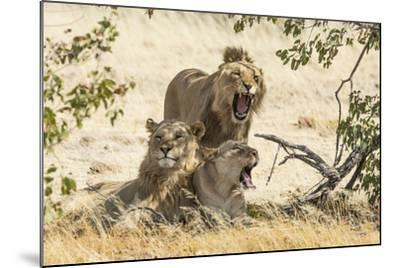 Namibia, Damaraland, Palwag Concession. Three Lions Resting-Wendy Kaveney-Mounted Photographic Print