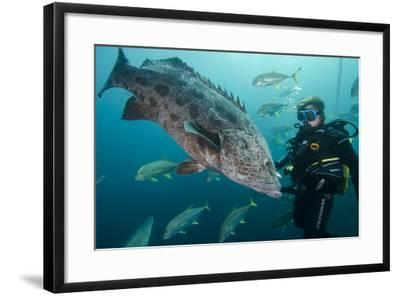 Potato Cod, Diver and Blacktip Trevally, KwaZulu-Natal, South Africa-Pete Oxford-Framed Photographic Print