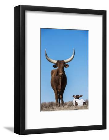 Watusi Cattle, Private Game Ranch, Great Karoo, South Africa-Pete Oxford-Framed Photographic Print