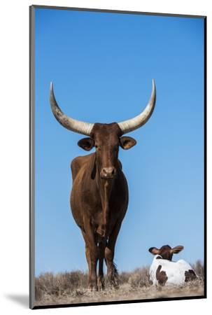 Watusi Cattle, Private Game Ranch, Great Karoo, South Africa-Pete Oxford-Mounted Photographic Print