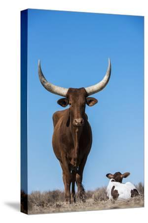 Watusi Cattle, Private Game Ranch, Great Karoo, South Africa-Pete Oxford-Stretched Canvas Print