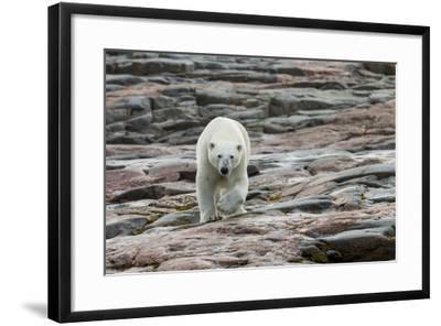 Canada, Nunavut, Repulse Bay, Polar Bear Walking across Rock Surface-Paul Souders-Framed Photographic Print