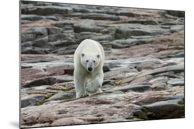 Canada, Nunavut, Repulse Bay, Polar Bear Walking across Rock Surface-Paul Souders-Mounted Photographic Print