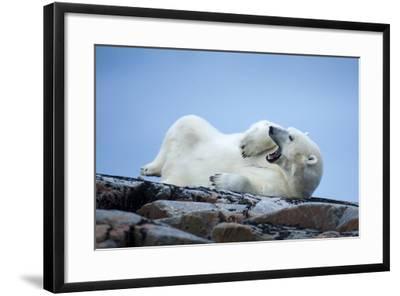 Canada, Nunavut Territory, Repulse Bay, Male Polar Bear Yawning-Paul Souders-Framed Photographic Print