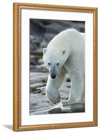 Canada, Nunavut, Repulse Bay, Polar Bear Patrolling Along Shoreline-Paul Souders-Framed Photographic Print