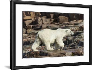 Canada, Nunavut, Repulse Bay, Polar Bear Walking Along Rocky Shoreline-Paul Souders-Framed Photographic Print