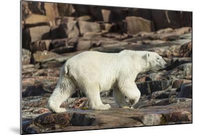 Canada, Nunavut, Repulse Bay, Polar Bear Walking Along Rocky Shoreline-Paul Souders-Mounted Photographic Print