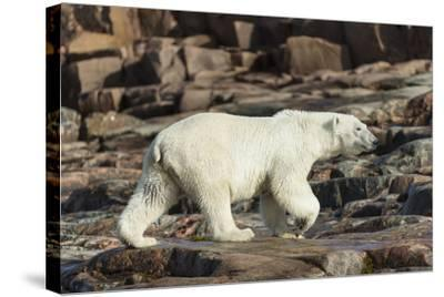 Canada, Nunavut, Repulse Bay, Polar Bear Walking Along Rocky Shoreline-Paul Souders-Stretched Canvas Print