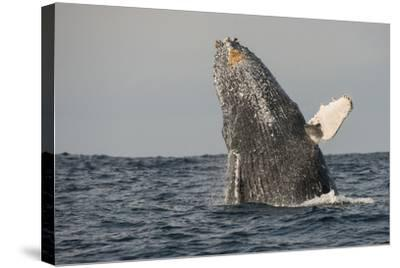 Humpback Whale, Sardine Run, Eastern Cape, South Africa-Pete Oxford-Stretched Canvas Print