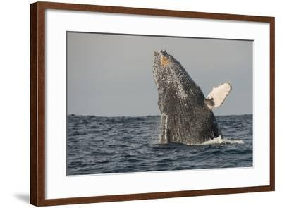Humpback Whale, Sardine Run, Eastern Cape, South Africa-Pete Oxford-Framed Photographic Print
