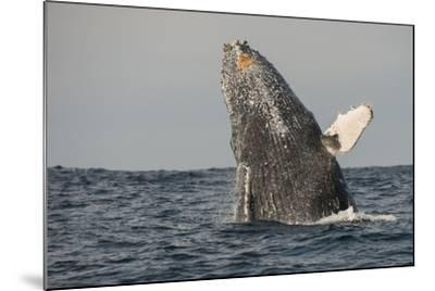 Humpback Whale, Sardine Run, Eastern Cape, South Africa-Pete Oxford-Mounted Photographic Print