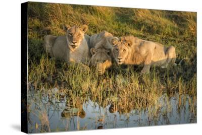 Three Lions Drinking from Pond-Sheila Haddad-Stretched Canvas Print