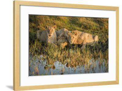 Three Lions Drinking from Pond-Sheila Haddad-Framed Photographic Print
