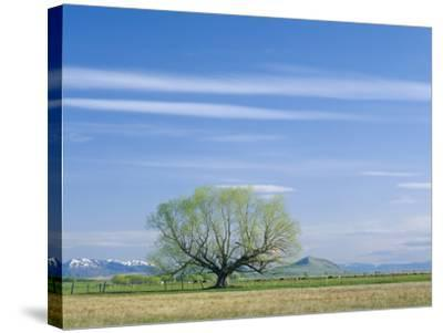 Utah. USA. Willow Tree and Cirrus Clouds in Spring. Cache Valley-Scott T^ Smith-Stretched Canvas Print
