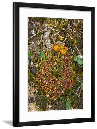 Norway. Svalbard. Bellsund. Camp Millar. Tufted Saxifrage-Inger Hogstrom-Framed Photographic Print