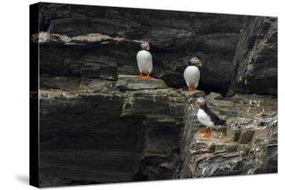 Norway. Svalbard. Krossfjord. Nesting Colony of Puffins-Inger Hogstrom-Stretched Canvas Print