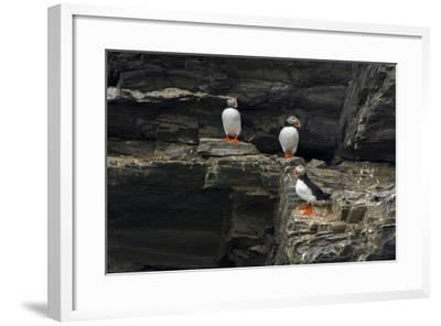 Norway. Svalbard. Krossfjord. Nesting Colony of Puffins-Inger Hogstrom-Framed Photographic Print