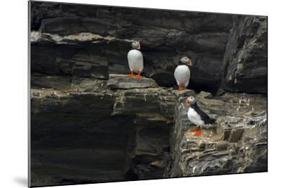 Norway. Svalbard. Krossfjord. Nesting Colony of Puffins-Inger Hogstrom-Mounted Photographic Print