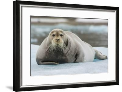 Norway. Svalbard. 14th of July Glacier. Bearded Seal on an Ice Floe-Inger Hogstrom-Framed Photographic Print