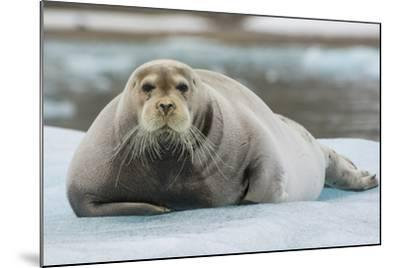 Norway. Svalbard. 14th of July Glacier. Bearded Seal on an Ice Floe-Inger Hogstrom-Mounted Photographic Print