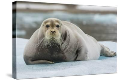 Norway. Svalbard. 14th of July Glacier. Bearded Seal on an Ice Floe-Inger Hogstrom-Stretched Canvas Print