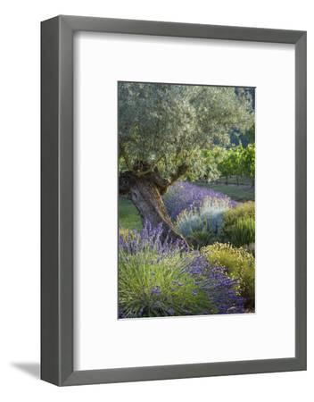 Olive Tree, Lavender and Grapevines in Gardem, Midi-Pyrenees, France-Brian Jannsen-Framed Premium Photographic Print