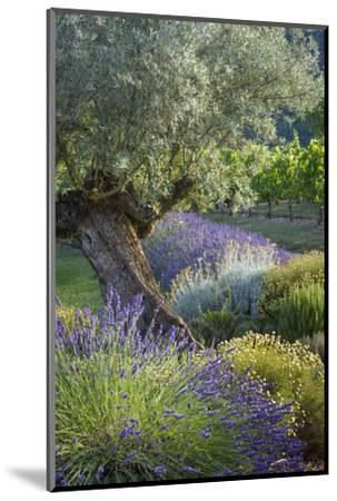 Olive Tree, Lavender and Grapevines in Gardem, Midi-Pyrenees, France-Brian Jannsen-Mounted Premium Photographic Print