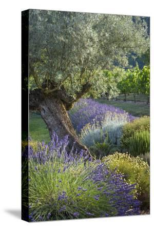 Olive Tree, Lavender and Grapevines in Gardem, Midi-Pyrenees, France-Brian Jannsen-Stretched Canvas Print