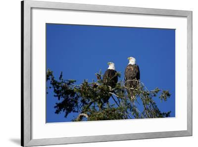 Bald Eagles Roosting in a Fir Tree in British Columbia-Richard Wright-Framed Photographic Print