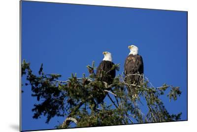 Bald Eagles Roosting in a Fir Tree in British Columbia-Richard Wright-Mounted Photographic Print