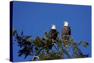 Bald Eagles Roosting in a Fir Tree in British Columbia-Richard Wright-Stretched Canvas Print