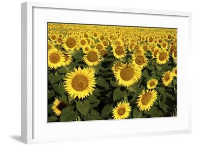 Europe, Italy, Tuscan Sunflowers-John Ford-Framed Photographic Print