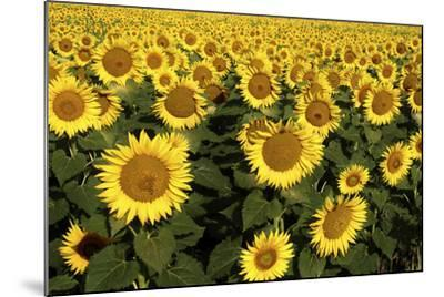 Europe, Italy, Tuscan Sunflowers-John Ford-Mounted Photographic Print