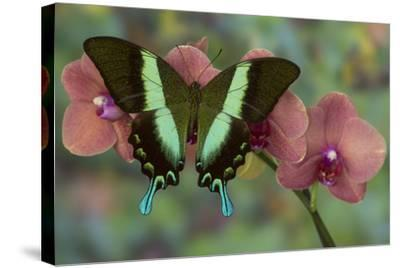 The Green Swallowtail Butterfly, Papilio Blumei-Darrell Gulin-Stretched Canvas Print