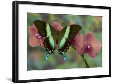 The Green Swallowtail Butterfly, Papilio Blumei-Darrell Gulin-Framed Photographic Print
