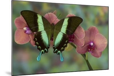 The Green Swallowtail Butterfly, Papilio Blumei-Darrell Gulin-Mounted Photographic Print
