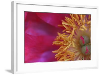Peony Abstract-Anna Miller-Framed Photographic Print