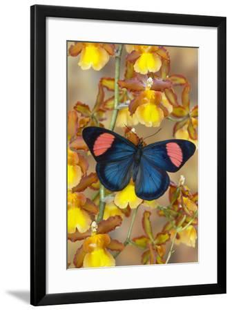 Painted Beauty Butterfly from the Amazon Region, Batesia Hypochlora-Darrell Gulin-Framed Photographic Print