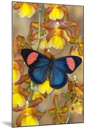 Painted Beauty Butterfly from the Amazon Region, Batesia Hypochlora-Darrell Gulin-Mounted Photographic Print