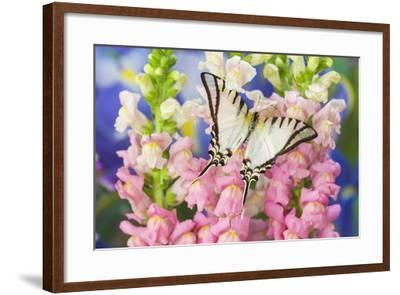 Short-Lined Kite Swallowtail Butterfly, Eurytides Agesilaus Autosilaus-Darrell Gulin-Framed Photographic Print