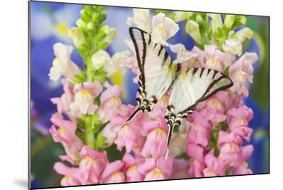 Short-Lined Kite Swallowtail Butterfly, Eurytides Agesilaus Autosilaus-Darrell Gulin-Mounted Photographic Print