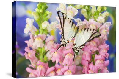 Short-Lined Kite Swallowtail Butterfly, Eurytides Agesilaus Autosilaus-Darrell Gulin-Stretched Canvas Print