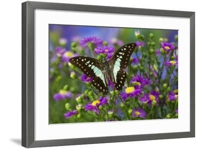 The Lesser Jay Butterfly, Graphium Evemon Orthia-Darrell Gulin-Framed Photographic Print