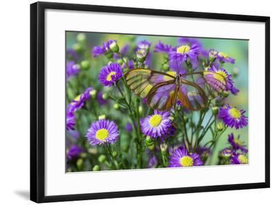 Glasswing Butterfly, Godyris Duilia-Darrell Gulin-Framed Photographic Print